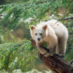 Canada's Great Bear Rainforest